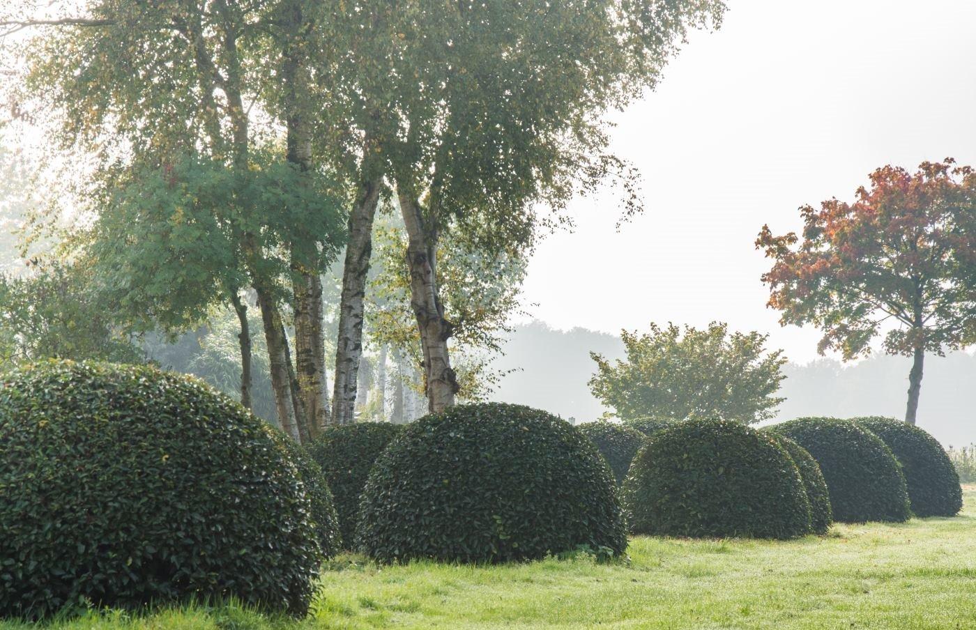 Prunus lusitanica boule