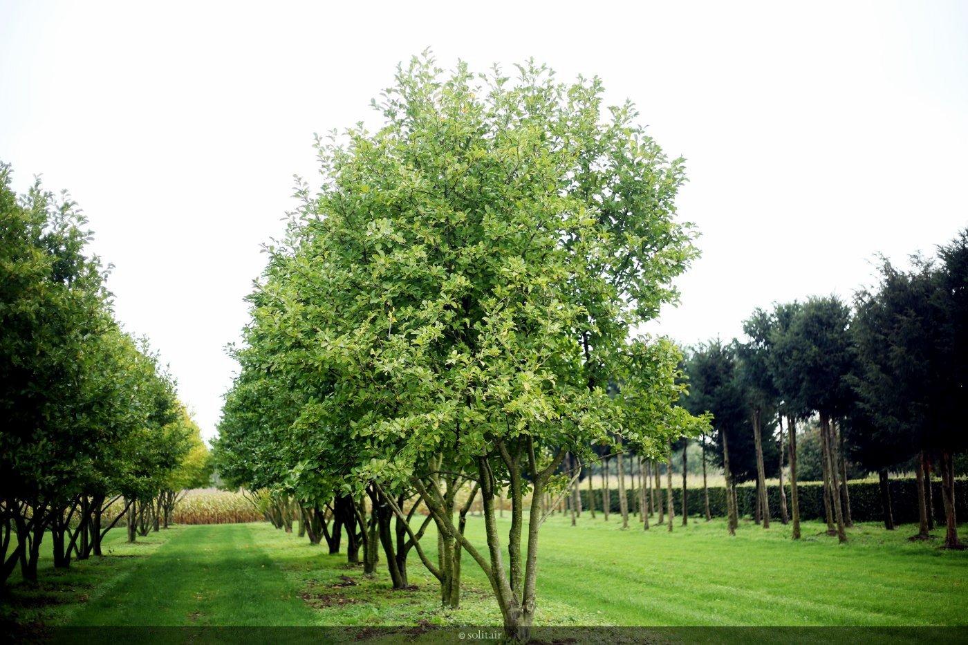 Magnolia loebneri 'Merrill' meerstam