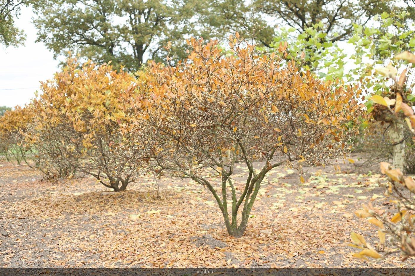 Magnolia stellata 'Royal Star
