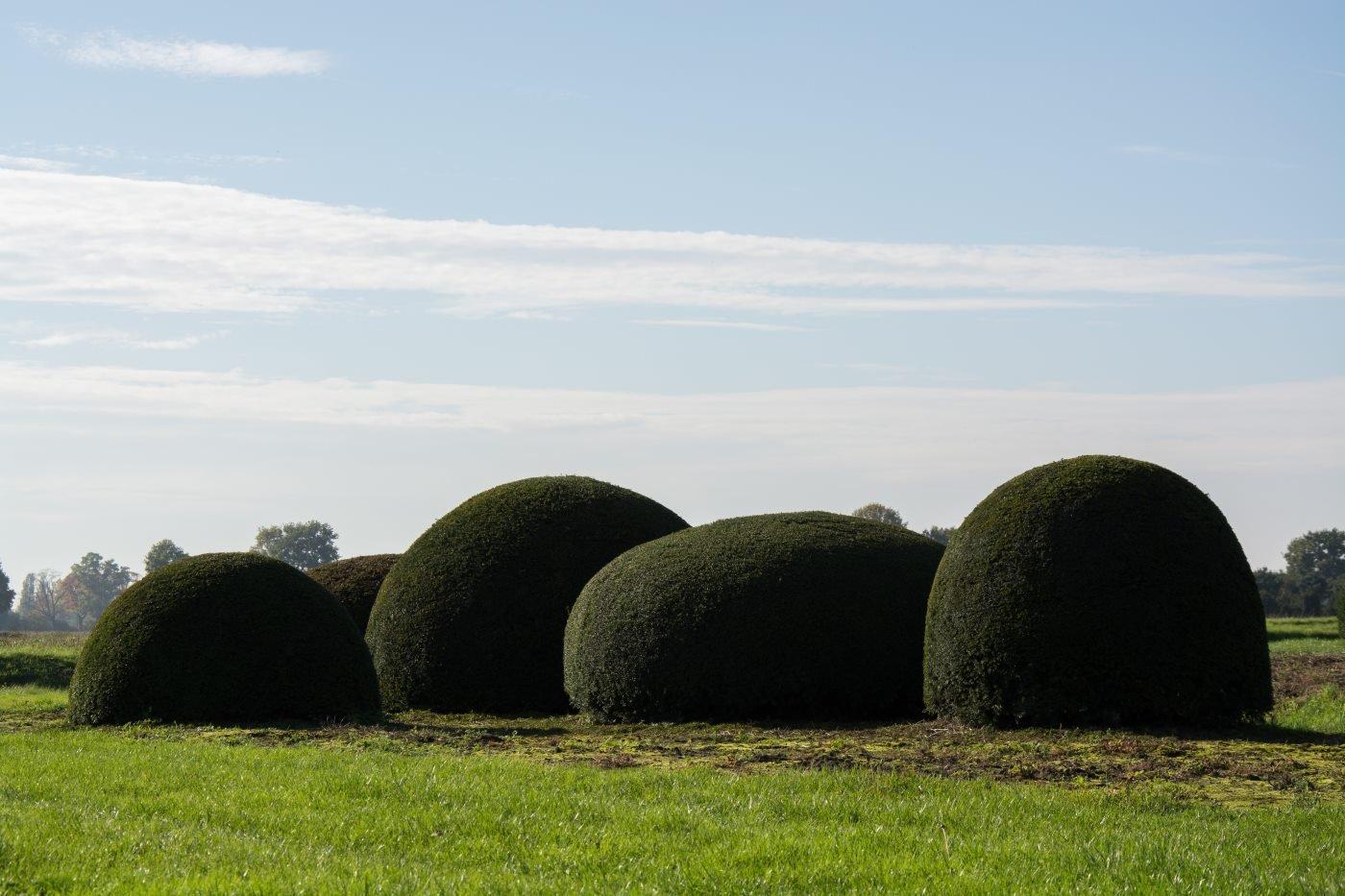 Taxus baccata boule